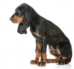 Black and Tan Coonhound picture