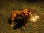 h'cronos - Male Perro de presa mallorquin