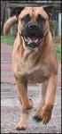 Dogue Majorquin - Perro de presa mallorquin