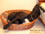 La petite Corbeille - Perro de Presa Canario
