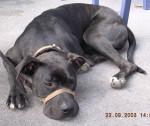 Jour de sortie - Perro de Presa Canario