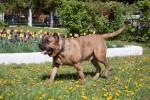 Perro de Presa Canario picture