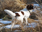 Dutch Partridge Dog picture