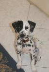 Frosty, 3 mois petite chienne Dalmatien sourde - Dalmatian (3 months)