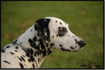 Lally, femelle Dalmatien - Dalmatian