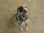 Frosty, jeune Dalmatienne de 15 mois - Dalmatian (1 year and 3 months)