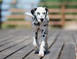 Dalmatian picture