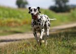 Un Dalmatien fugueur court dans un champ