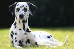 Un Dalmatien allongé dans l'herbe