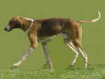 English Foxhound picture