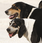 French White and Black Hound picture