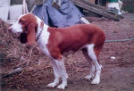 French White and Orange Hound picture