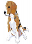French Tricolour Hound picture