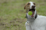 Greyhound picture