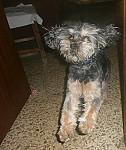 Morti - Male Griffon belge (5 years)