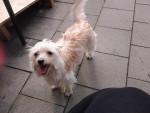 Vanille - Griffon belge (1 year)