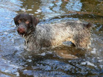 Briska Griffon Korthals - Wirehaired Pointing Griffon