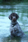 Briska, Griffon Korthals - Wirehaired Pointing Griffon