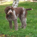 Ficelle Griffon Korthals - Wirehaired Pointing Griffon
