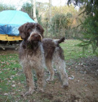 griffon korthals Ficelle - Wirehaired Pointing Griffon