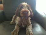 GARAÏ GRIFFON KORTHALS - Wirehaired Pointing Griffon