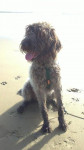 FEE GRIFFON KORTHALS - Wirehaired Pointing Griffon