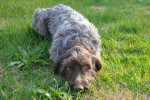 Jipsy - Wirehaired Pointing Griffon (1 year)