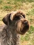 Larsie - Male Wirehaired Pointing Griffon (4 years and 2 months)