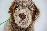 Wirehaired Pointing Griffon picture