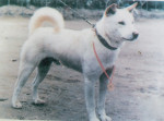 Korean Jindo Dog picture