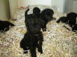 bébé kerry - Kerry Blue Terrier (1 month)