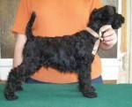 eragon blue de glenderry - Male Kerry Blue Terrier (2 months)