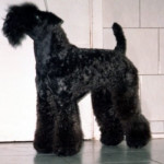 pretty - Kerry Blue Terrier (11 years)