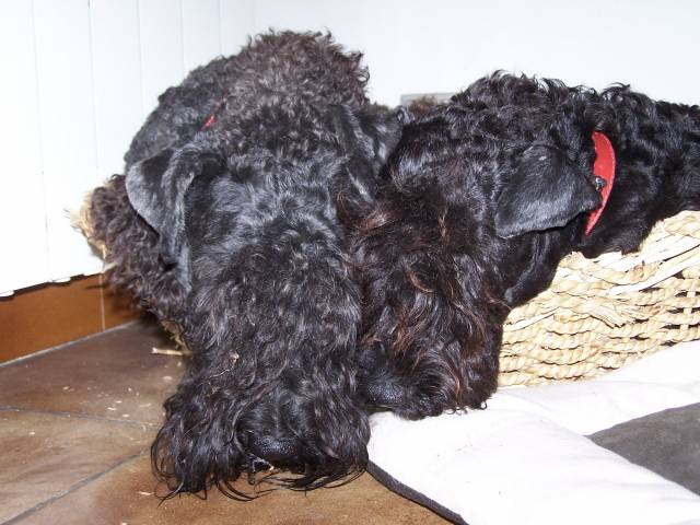 eragon blue de glenderry et criquet blue de glenderry - Male Kerry Blue Terrier