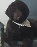 Marlot - Poodle