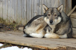 West Siberian Laika picture