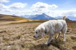 Pyrenean Mastiff picture