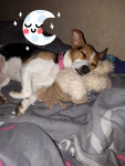Chanel - Parson Russell Terrier (2 years and 3 months)