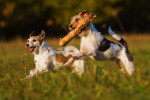 Parson Russell Terrier picture