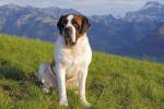 Saint Bernard picture