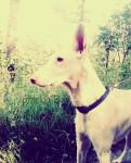 Vanina - Ibizan Hound (9 years)