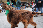 Irish Setter picture