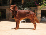 Cosmo - Male Irish Setter