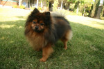 German Spitz picture