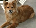 Ginger - Finnish Spitz