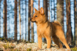 Finnish Spitz picture