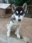 BUDDHA - Male Siberian Husky (3 months)
