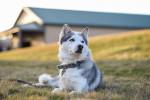 Siberian Husky picture