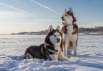 Deux Huskies Sibériens dans un champ couvert de neige