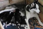 Une femelle Hysky Sibérien allaite ses petits